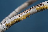 Birkenspinner, Birken-Spinner, Scheckflügel, Ei, Eier, Eigelege, Endromis versicolora, Kentish Glory, egg, eggs, Le Bombyx versicolore