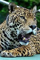 *** FOTO ARQUIVO*** 23.04.2013 **** MANAUS, AM, 22.06.2016 – ONÇA-JUMA – A onça Juma espécie ameaçada de extinção e mascote do exército de Manaus foi abatida com um tiro de pistola no Centro de Instrução de Guerra na Selva (Cigs) logo após ser exibida na cerimônia com a tocha olímpica em Manaus na segunda-feira (20) o animal escapou e ao tentar recapturá-la com tranquilizantes o animal avançou sobre um soldado. Foto arquivo 23.04.2013. (Foto: Ricardo Botelho/Brazil Photo Press)