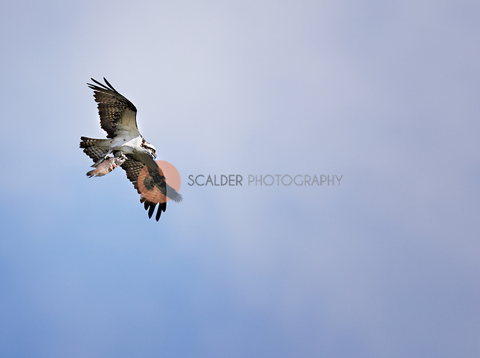 Osprey in flight clutching a fish in it's claws