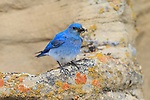 Male Mountain Bluebird (Sialia currucoides) returning to its nest with food. Sublette County