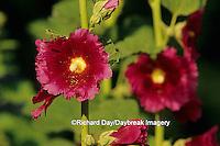 63821-05018 Hollyhock (Alcea rosea)  Marion Co. IL
