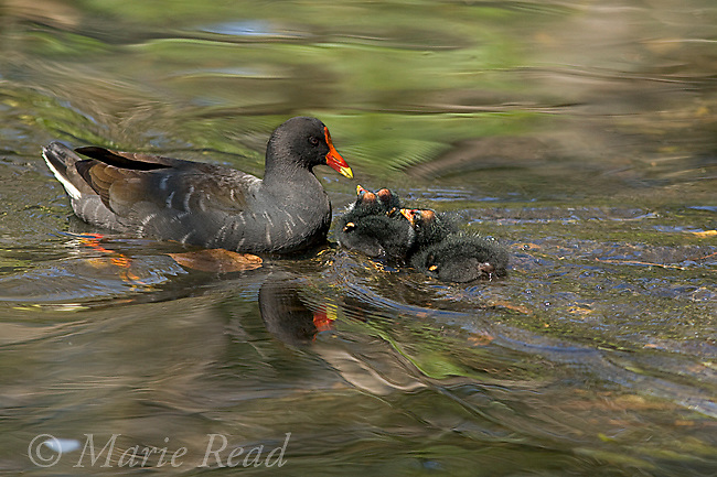 Dusky Moorhen (Gallinula tenebrosa), adult with three begging chicks, Sydney, Australia.