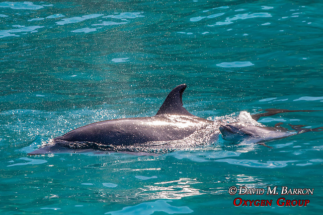 Spinner Dolphin & Baby