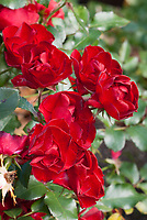Rosa Ruby Meidland red landscape rose, double ruby red roses