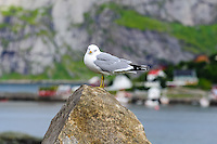 Norway, Lofoten. Reine in Lofoten is a commercial and rourism center, a common seagull.