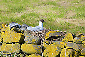 Black headed Gull (Chroicocephalus ridibundus) nesting on dry stone wall. Sitting in the hot sun becomes the daily routine once the eggs are laid. Some nests are more comfortable looking that others. Some have better finishing, with moss and other soft furnishings. Incubation 23 to 26 days.