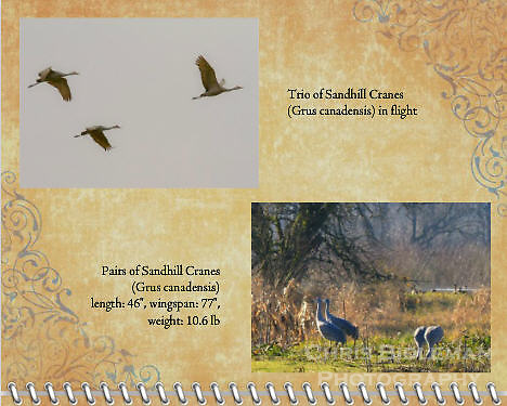 "February of the 2012 Birds of a Feather Calendar.  These photos are called ""Sandhill Cranes in flight"" and ""Sandhill Cranes 2-by-2.""  Photo shows two pairs of Sandhill cranes (Grus canadensis) are feeding and walking in a grassy field trees and a pond in the background at the Ridgefield National Wildlife Refuge."