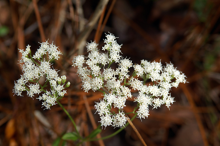 Angelica blooms in the summer and fall on dry pinelands or sand ridges in the Florida panhandle.