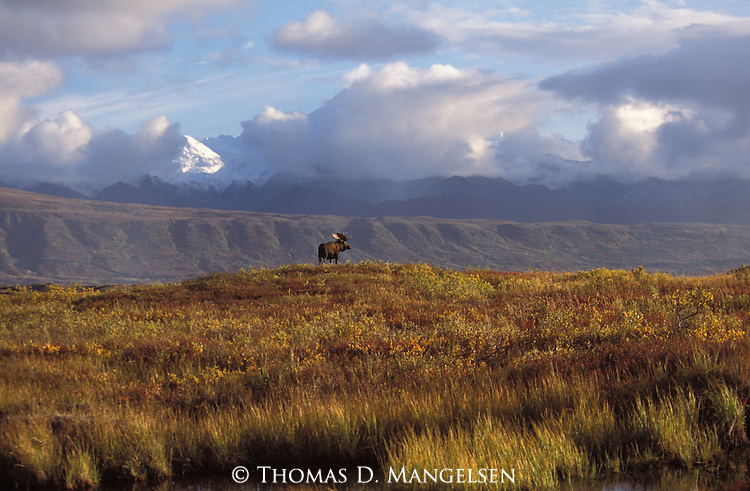 A bull moose stands on a knoll in Denali National Park, Alaska.
