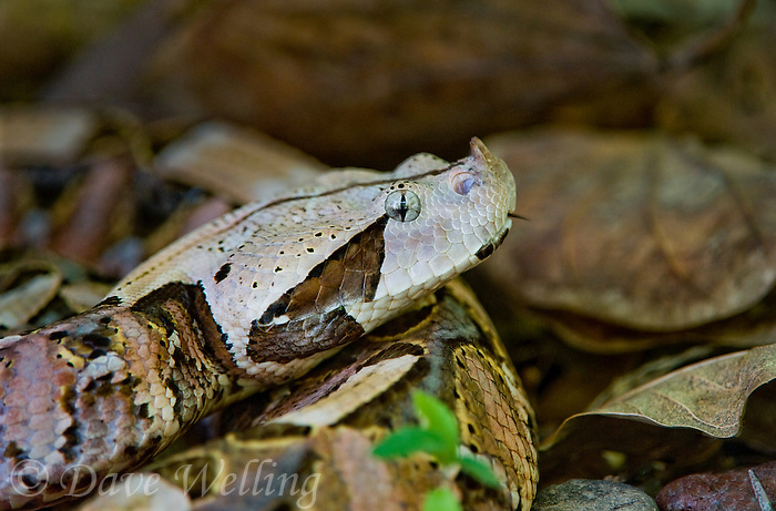 489250009 a captive gaboon viper bitis gabonica sits coiled in leaf litter species is a ground dwelling deadly viper it is the heaviest and has the longest fangs of any viperid and is native to western sub-saharan africa