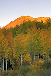 Evening light on mountain above atumn quaking aspens, Gunnison National Forest, Colorado
