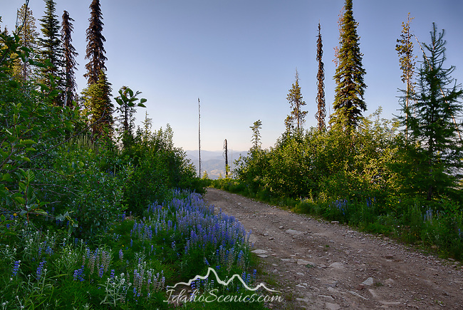 Idaho, North, Kootenai County, Kingston. Lupine line the road in the St. Joe District of the Idaho Panhandle National Forest in  summer.