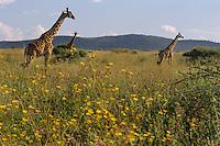 Masai Giraffes (Giraffa camelopardalis).  Serengeti.