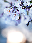 Cherry tree blossoms in morning sunlight, artistic closeup