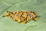 Large or Cabbage White Butterfly eggs with newly hatched caterpillars, Pieris brassicae, larvae, laid on host plant of cabbage leaf, yellow, cluster, group, macro, inside, hatching, emerging.United Kingdom....