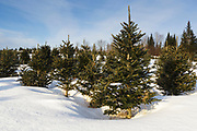Fraser fir trees at The Rocks Estate in Bethlehem, New Hampshire USA during the  winter months.