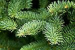 Premier Christmas Trees