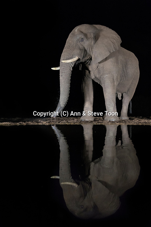 Elephant (Loxodonta africana) drinking at night, Zimanga private game reserve, KwaZulu-Natal, South Africa, May 2017