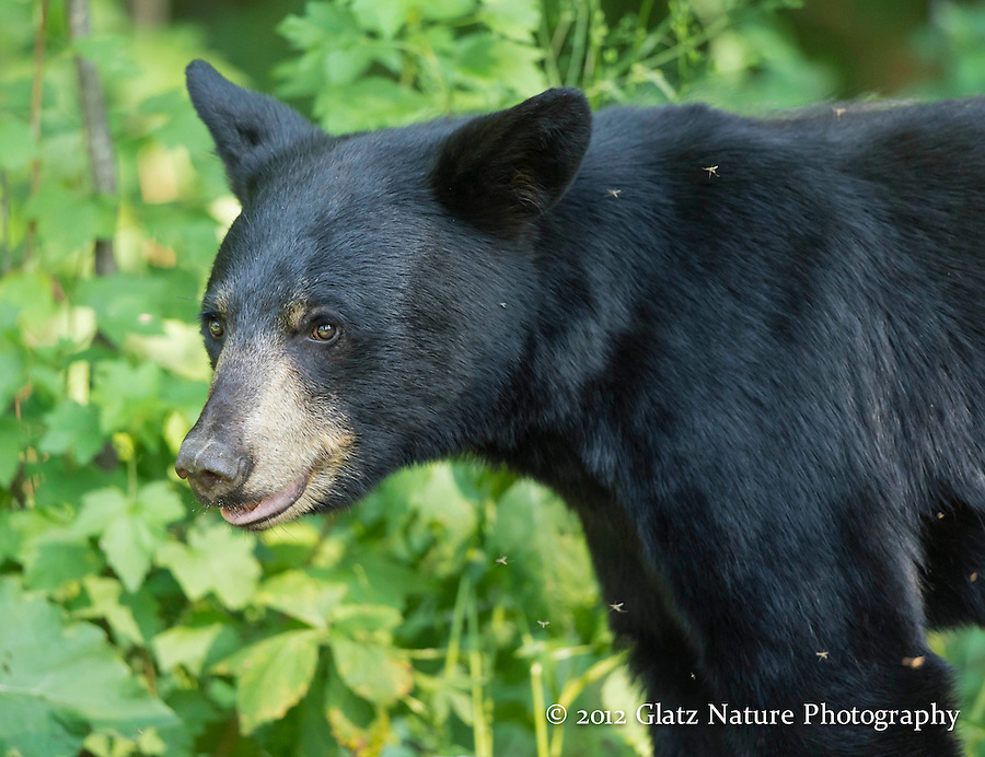 Young Black Bear (Ursus americanus) on the alert for an approaching bear, Northern Minnesota.