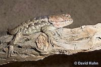 0614-1001  Desert Spiny Lizard Sunning in Desert, Sceloporus magister  © David Kuhn/Dwight Kuhn Photography