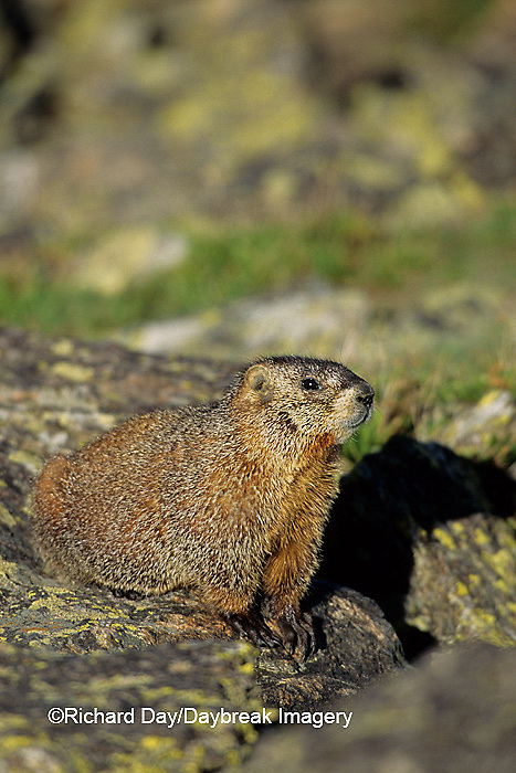 02004-00119 Yellow-bellied marmot (Marmota flaviventris) Rocky Mtn Nat'l Pk   CO