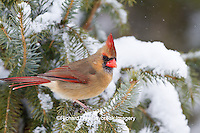 01530-21102 Northern Cardinal (Cardinalis cardinalis) female in spruce tree in winter, Marion Co., IL