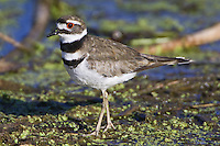 Killdeer walking across a bed of weeds