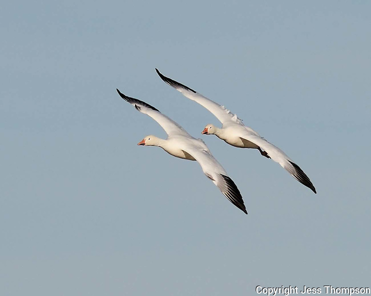 Two Snow Geese approach a landing in Bosque del Apache NWR