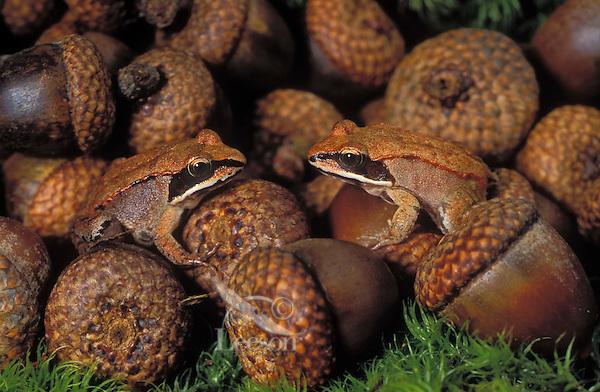 Wood Frogs sitting on acorns. Camouflage..Most northerly amphibian in world..Autumn. Nova Scotia, Canada..Rana sylvatica.