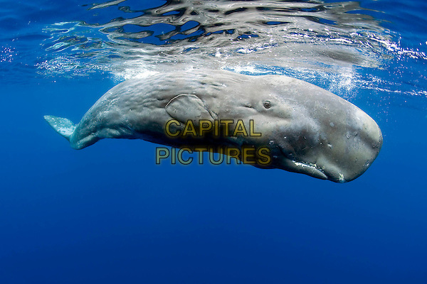 Scene - Sperm Whale, Physeter macrocephalus, Vulnerable (IUCN), Pico Island, Azores, Portugal, Atlantic Ocean.in OceanWorld 3D (2009).*Filmstill - Editorial Use Only*.CAP/NFS.Supplied by Capital Pictures.