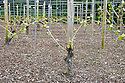 Double-guyot pruned grape vines ('Zweigeltrebe'), early April.