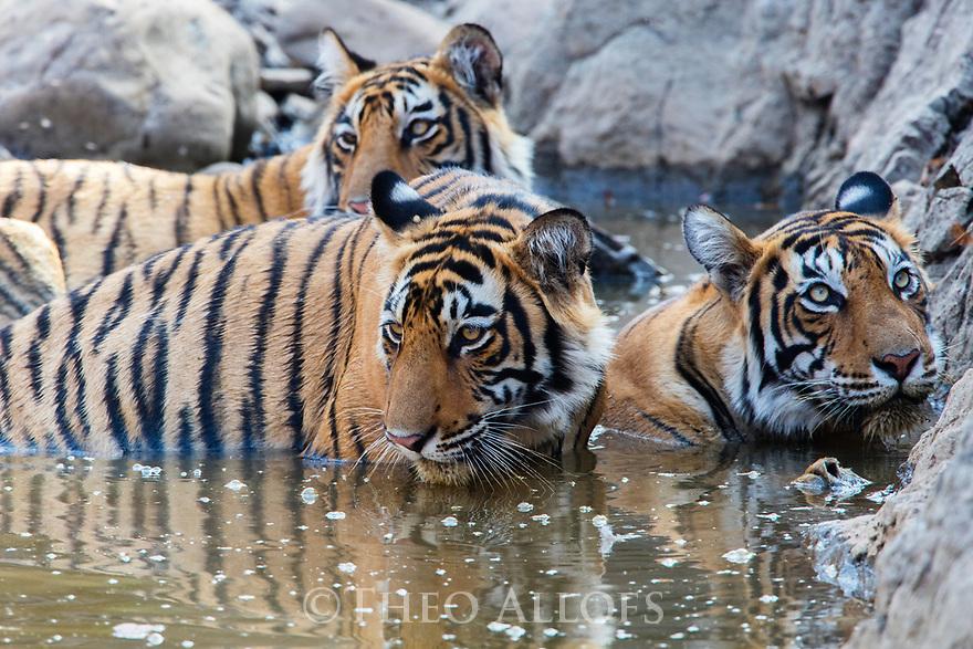 India, Rajasthan, Ranthambhore National Park, Bengal tigers cooling off at waterhole