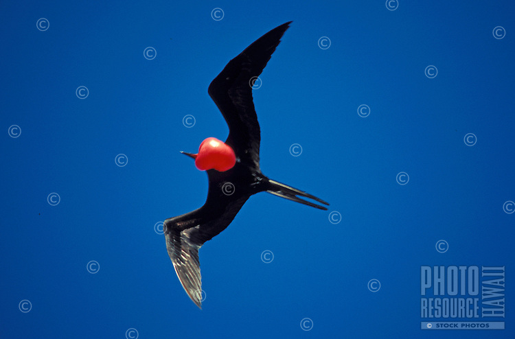 Great Frigatebird flying with extended throat pouch-a breeding display.