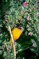561920005 a wild male baltimore oriole icterus galbula galbula perches on a wild flowering plant on south padre island along the texas gulf coast