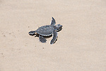 just born baby turtle makes its trip to sea