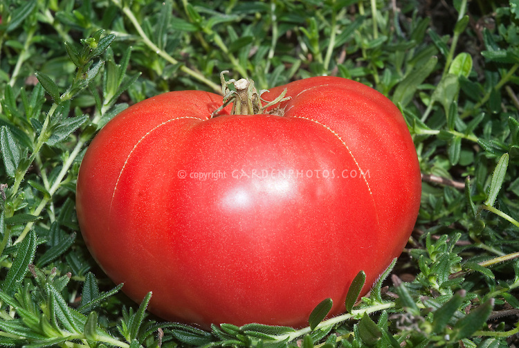Tomato Mortgage Lifter Beefsteak from 1930s, a hybrid cross of four of the largest tomatoes, German Johnson, Beefsteak, an Italian variety, and an English variety