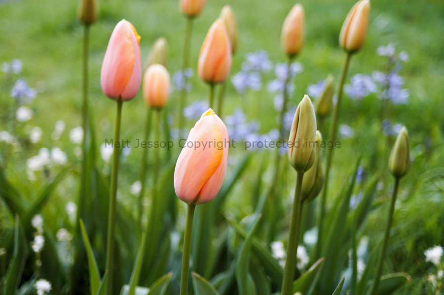 Early Pink Tulips