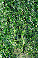 DWARF EELGRASS Zostera noltei. Similar to Eelgrass Z. marina but with round-tipped leaves. Grass-like marine perennial that grows in sand and silt substrates, typically below the low-water mark, hence only seldom exposed to air. Flowers small, greenish and borne in branched clusters, enclosed bt sheaths (June-Sept). Fruits spongy. Leaves 5-10mm wide, 30-50cm long.