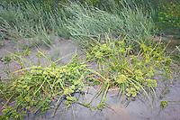 Common Sedge along the banks of the Sacramento River.
