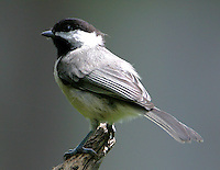Carolina chickadee adult