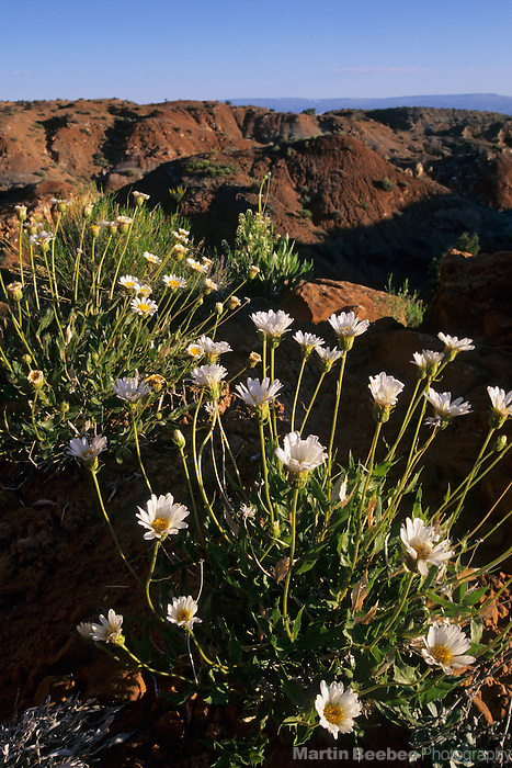 Desert wildflowers, Grand Staircase-Escalante National Monument, Utah