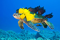green sea turtle, Chelonia mydas, being cleaned by tellow tang, Zebrasoma flavescens, endemic gold-ring surgeonfish, Ctenochaetus strigosus, and endemic saddle wrasse, Thalassoma duperrey, Kona Coast, Big Island, Hawaii, USA, Pacific Ocean