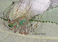 "0922-07xx  Green Lynx Spiderling guarding egg case ""egg sac""  - Peucetia viridans  ""Eastern Variation"" - © David Kuhn/Dwight Kuhn Photography"