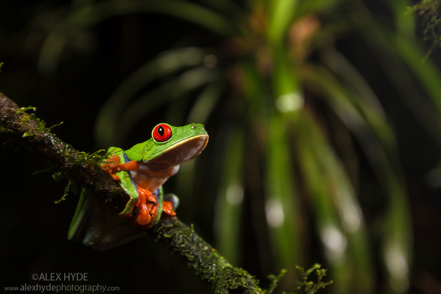 Red-eyed Leaf Frog female {Agalychnis callidryas}Central Caribbean foothills, Costa Rica. May.