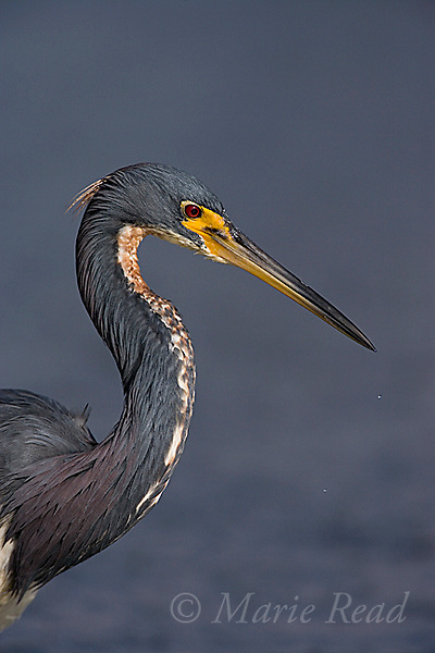Tricolored Heron (Egretta tricolor) close-up, Estero Lagoon, Ft. Myers, Florida, USA<br /> Woodfall/Photoshot