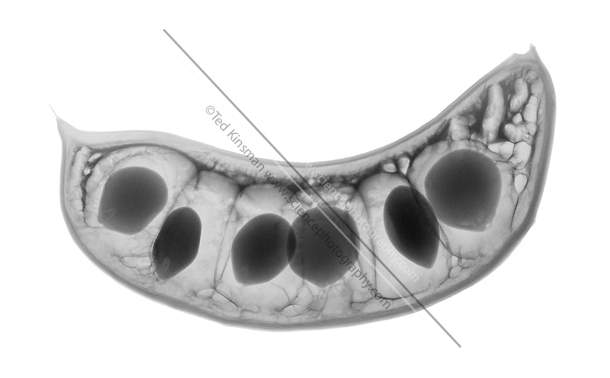 An X-ray of a Kentucky Coffee Tree seed pod (Gymnocladus dioicus) .  This low energy x-ray shows the interior structure of the seed pod. A common name for this tree is the Coffeetree