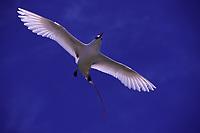 bird, Red-tailed Tropicbird, Phaethon rubricauda, in flight over Sand Island, Midway Atoll, Papahanaumokuakea Marine National Monumen, Northwestern Hawaiian Islands