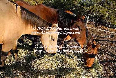 Sunset Dinner , Three Horses Eating Hay , Dramatic Light