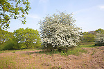 Spring white flowering hawthorn bush on heathland in May, Shottisham, Suffolk, England