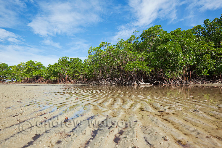 Mangrove forest at low tide on Myall Beach.  Cape Tribulation, Daintree National Park, Queensland, Australia